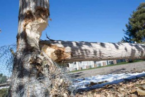 John Byrne/Tribune Beavers destroyed this tree along Sparks Boulevard. Sparks city officials have obtained a permit from the Nevada Department of Wildlife to remove beavers in the area.
