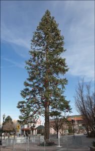 John Byrne/Tribune The 105-foot tree outside of the Nugget Casino Resort is tabbed as the second-largest Christmas tree in America.