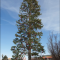 Nugget Unveils Mammoth 105-foot Christmas Tree